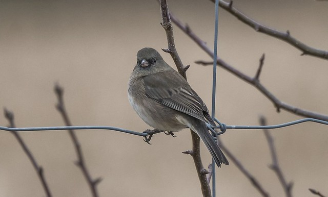New Year's Day Slate-Colored Junco