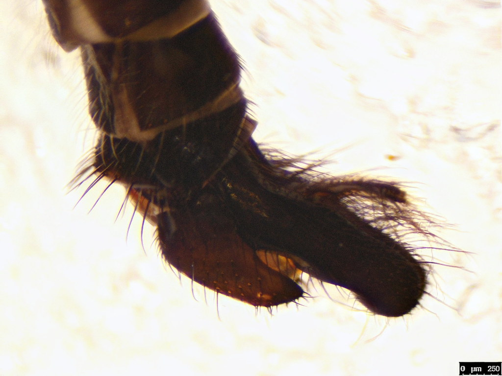 12c - Asilinae sp.