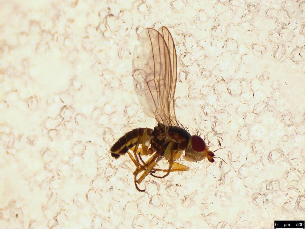 15 - Agromyzidae sp.