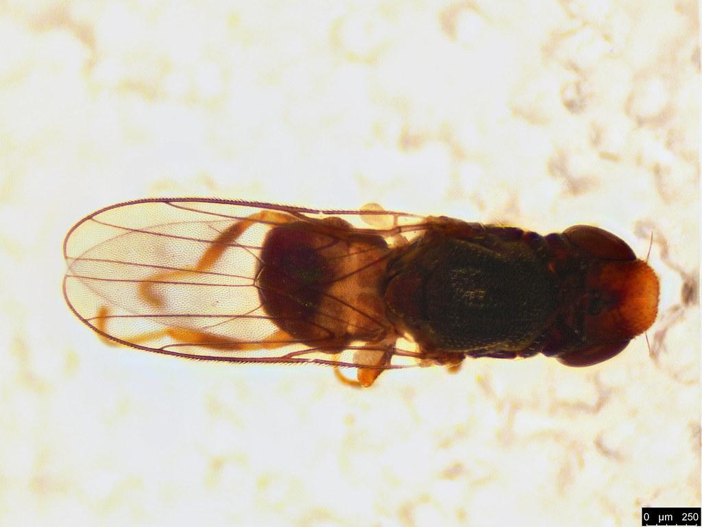 16c - Tricimba sp.