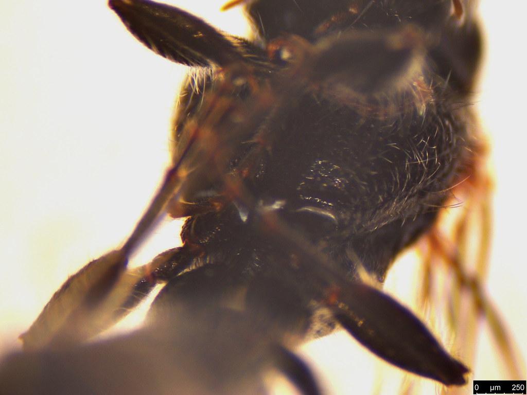 19c - Tiphiidae sp.