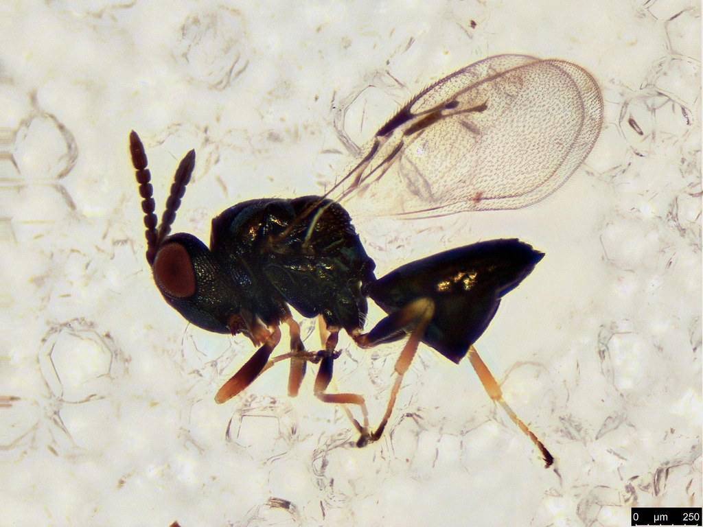 30 - Hymenoptera sp.