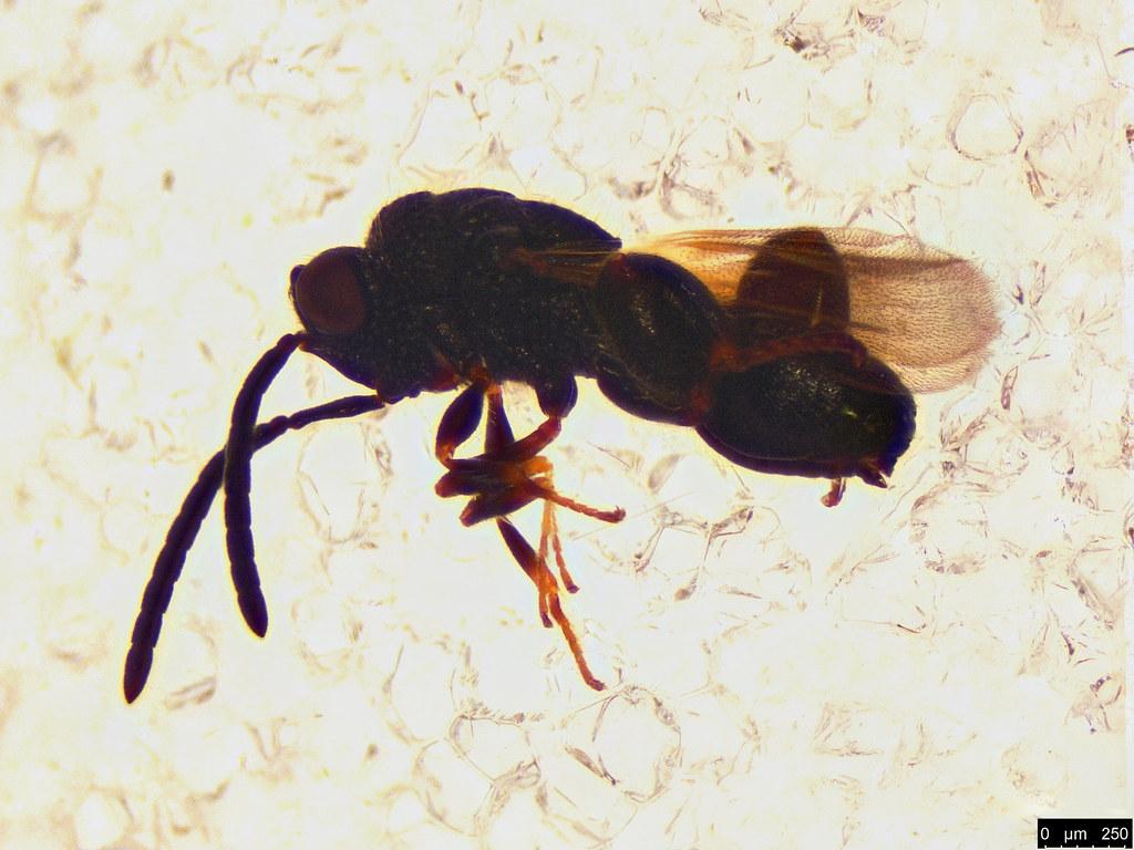 33a - Chalcididae sp.