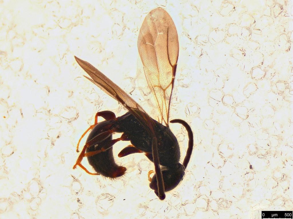 35 - Bethylidae sp.