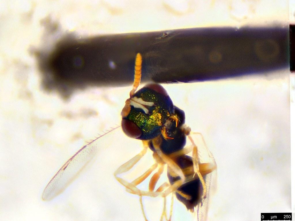 41b - Pteromalidae sp.