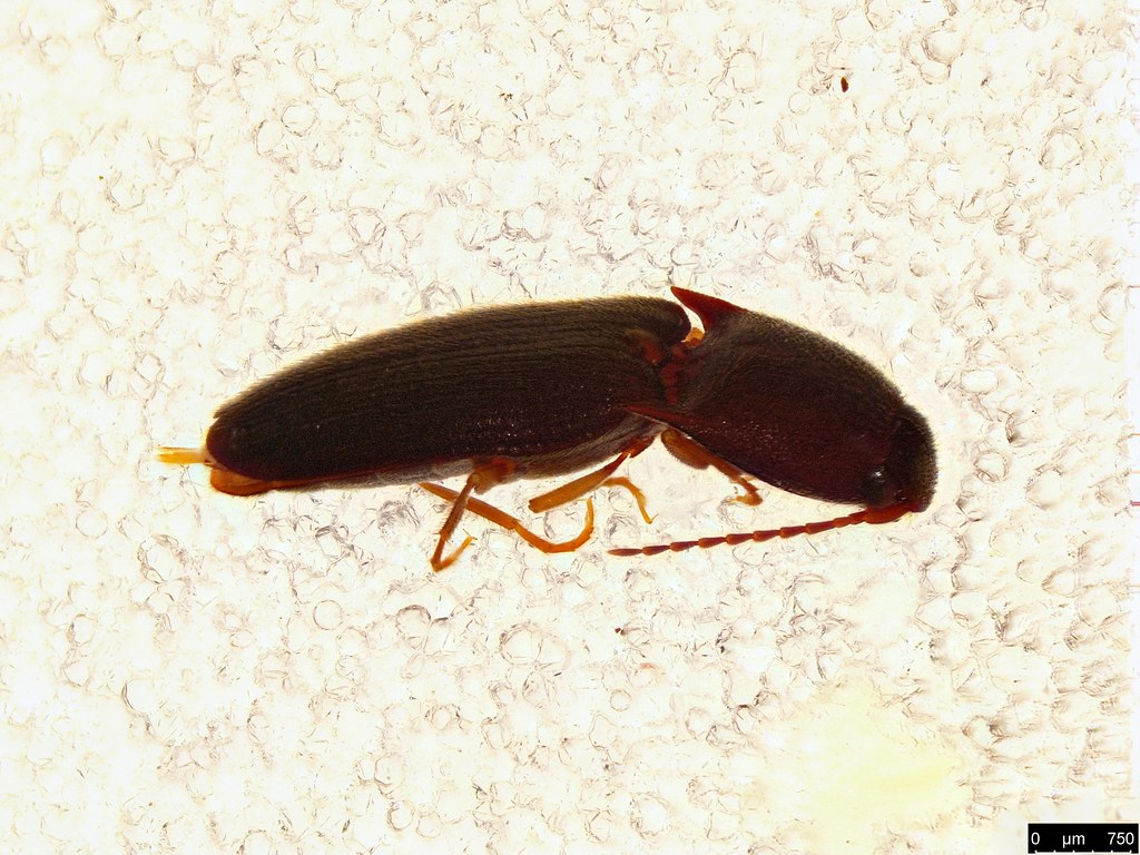 45a - Glyphochilus sp.