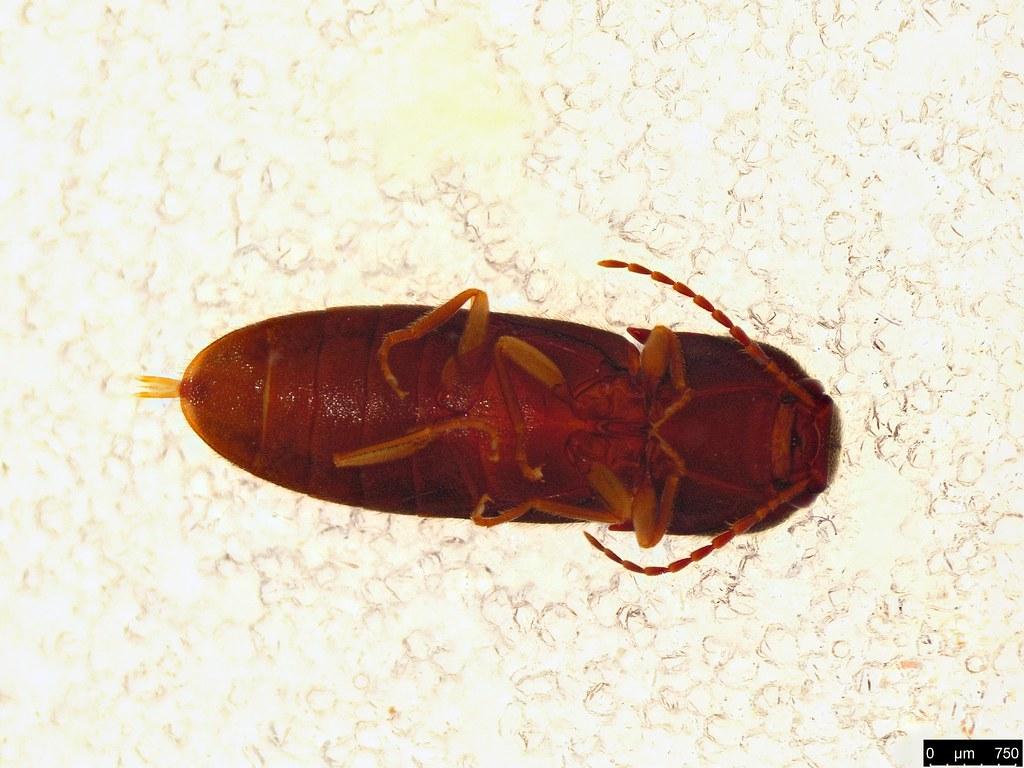 45b - Glyphochilus sp.