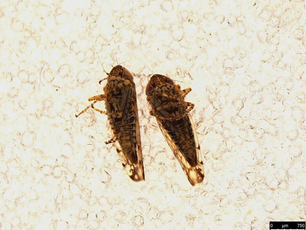 56c - Cicadellidae sp.