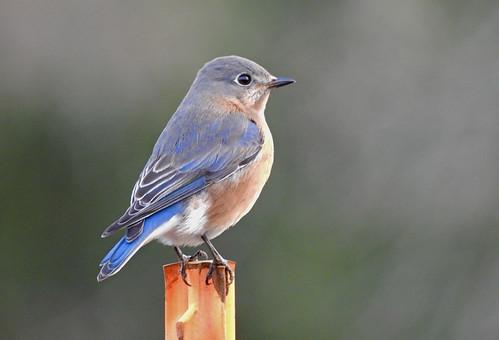 Eastern Bluebird - Webster Park - © Candy Giles - Dec 25, 2020