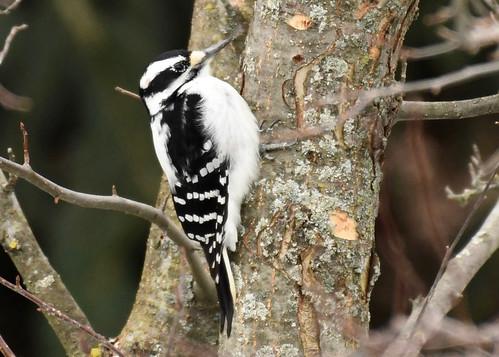 Hairy Woodpecker - Pittsford - © Alan Bloom - Dec 27, 2020