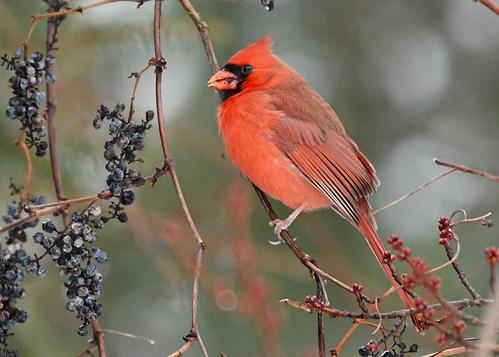 Northern Cardinal - Webster Park - © Alan Bloom - Dec 27, 2020