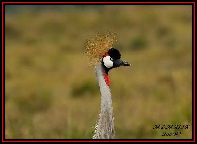 ADULT GREY CRESTED CROWNED CRANE BIRD  (Balearica regulorum)......MASAI MARA......OCT 2020.