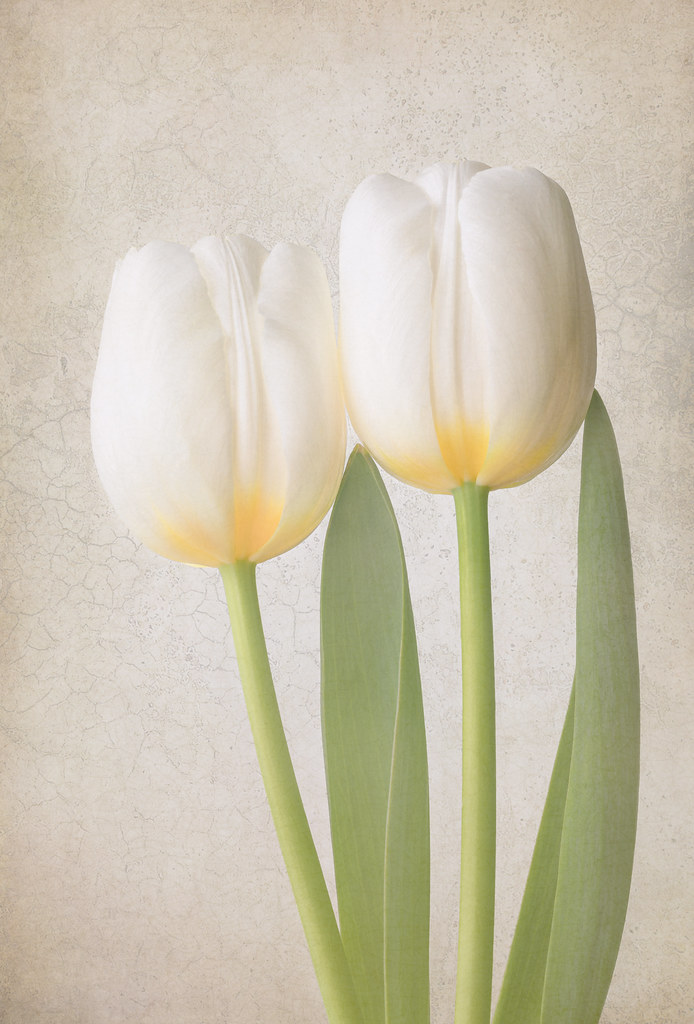 Two tulips on white