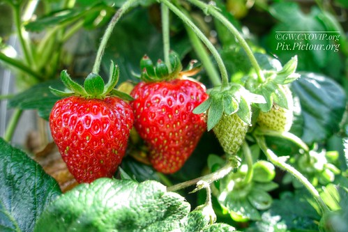 lockdown grower for the first time, strawberries, failed many but also many successes.. strawberries were the easiest | by garethwong