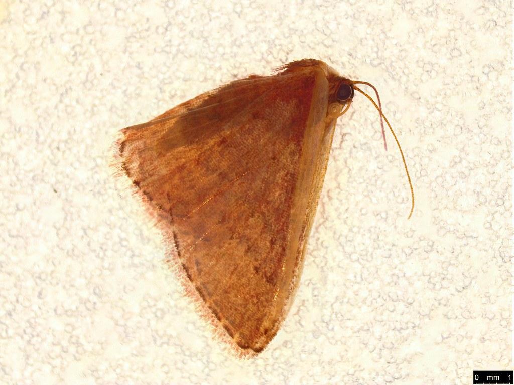 8b - Idaea inversata (Guenée, [1858])