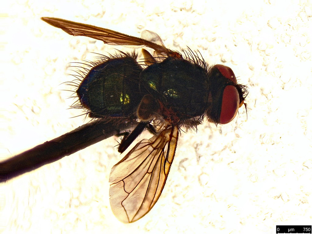 13 - Calliphoridae sp.