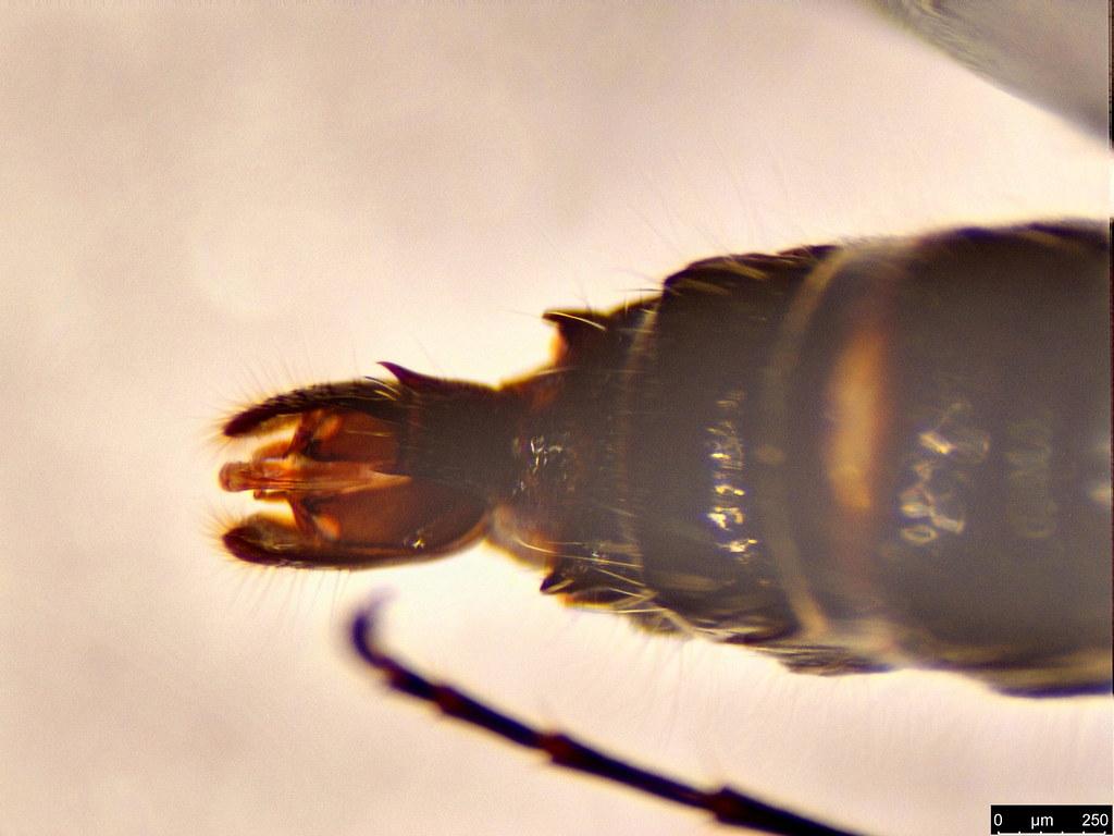 19d - Tiphiidae sp.