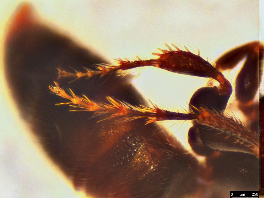 20e - Tiphiidae sp.
