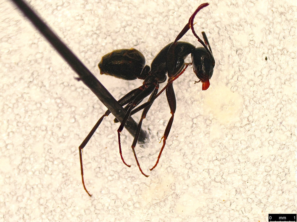 21 - Camponotus sp.