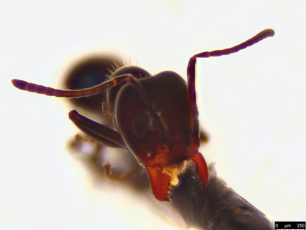 23b - Formicidae sp.