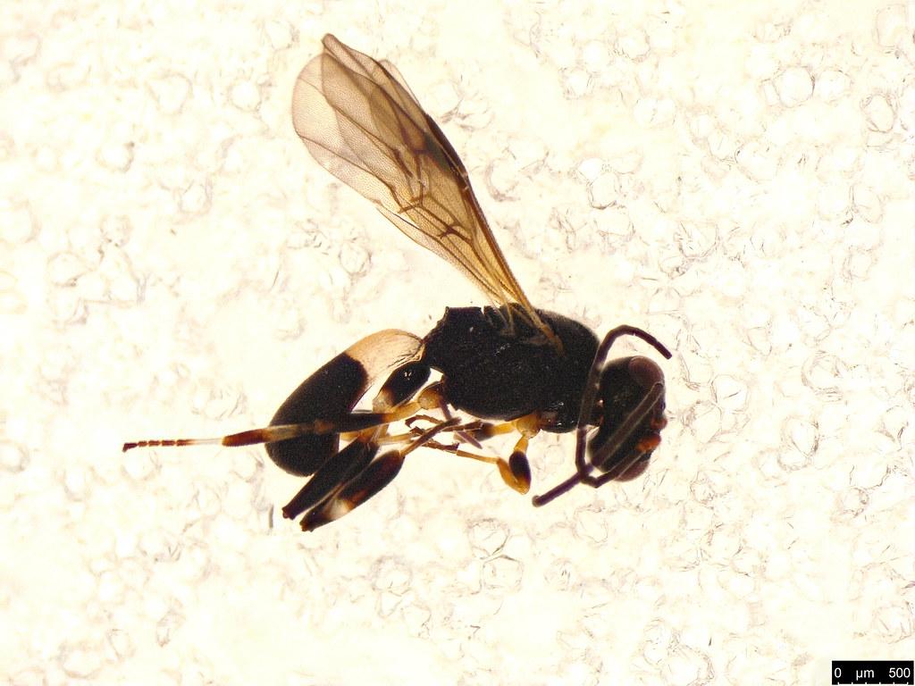 26 - Chelonus sp.