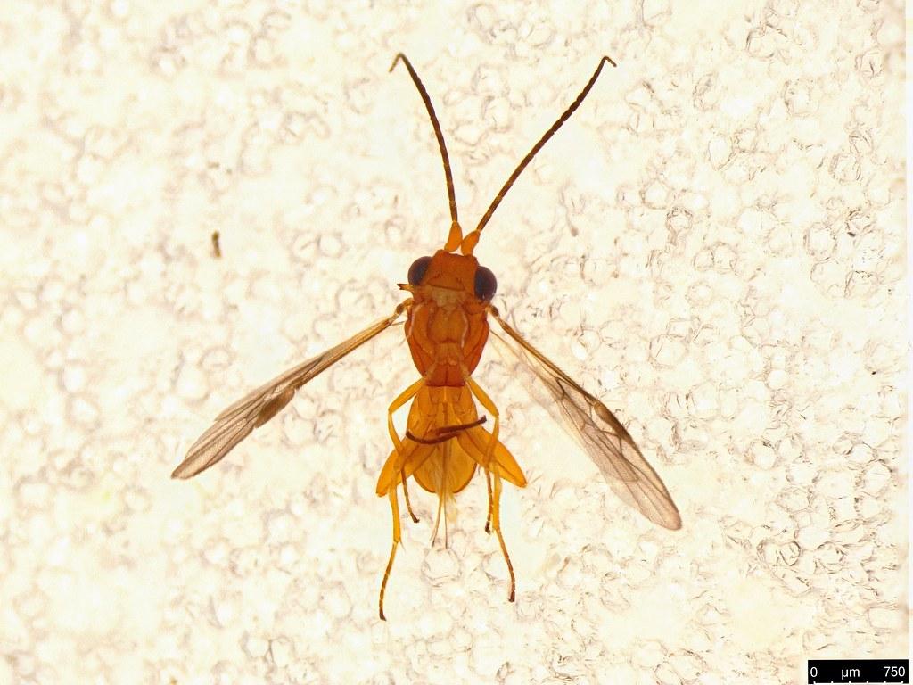 27c - Cheloninae sp.