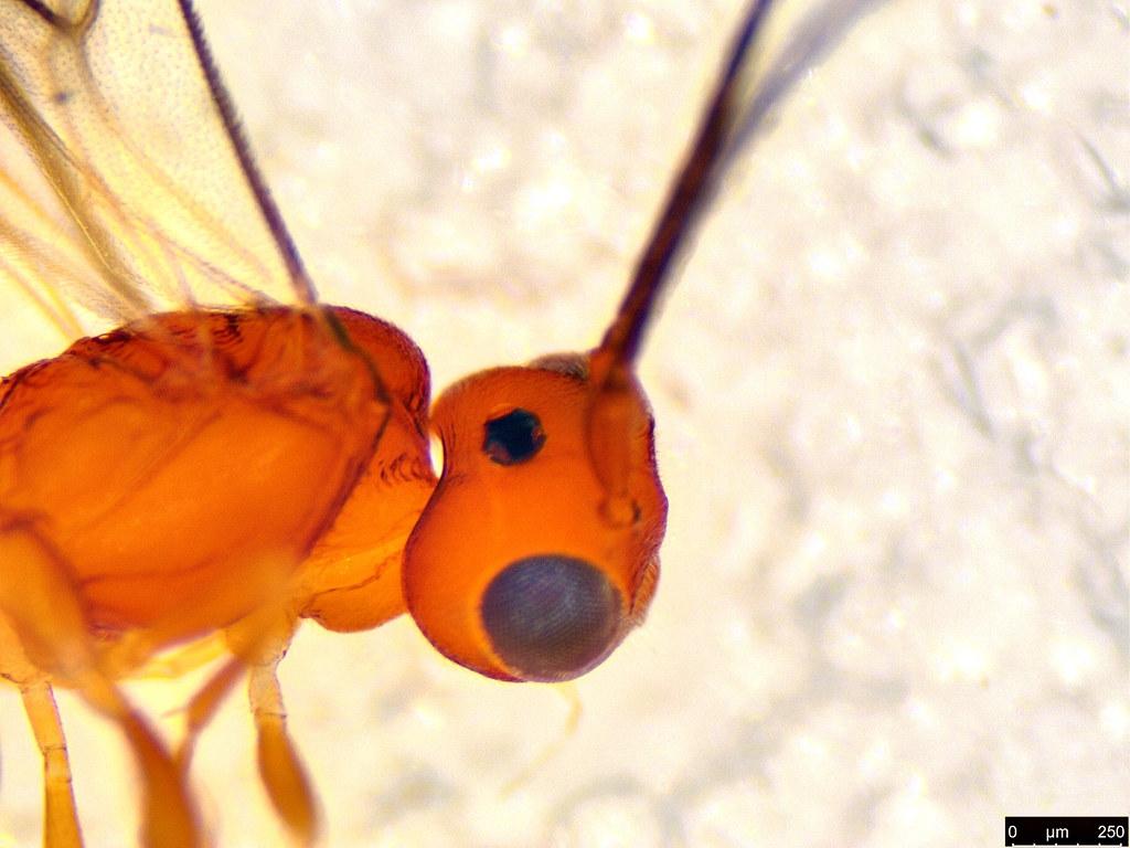 28c - Cheloninae sp.