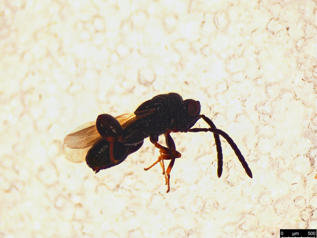 33c - Chalcididae sp.