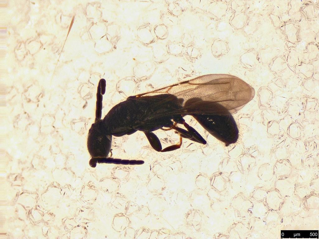 34a - Hymenoptera sp.