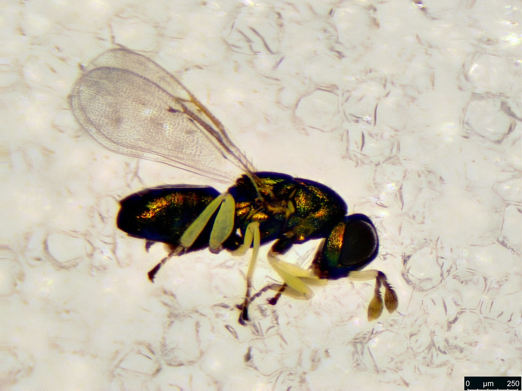 40a - Hymenoptera sp.