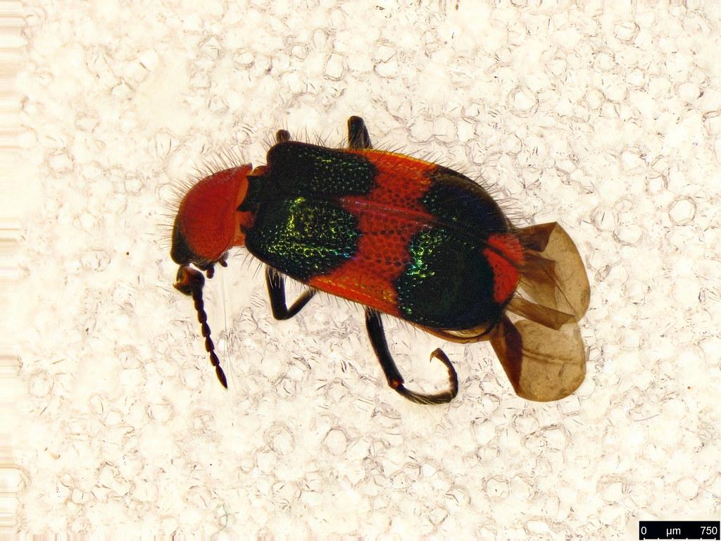 47 - Dicranolaius bellulus (Boisduval, 1835)