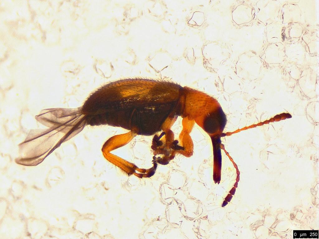48d - Metopum sp.