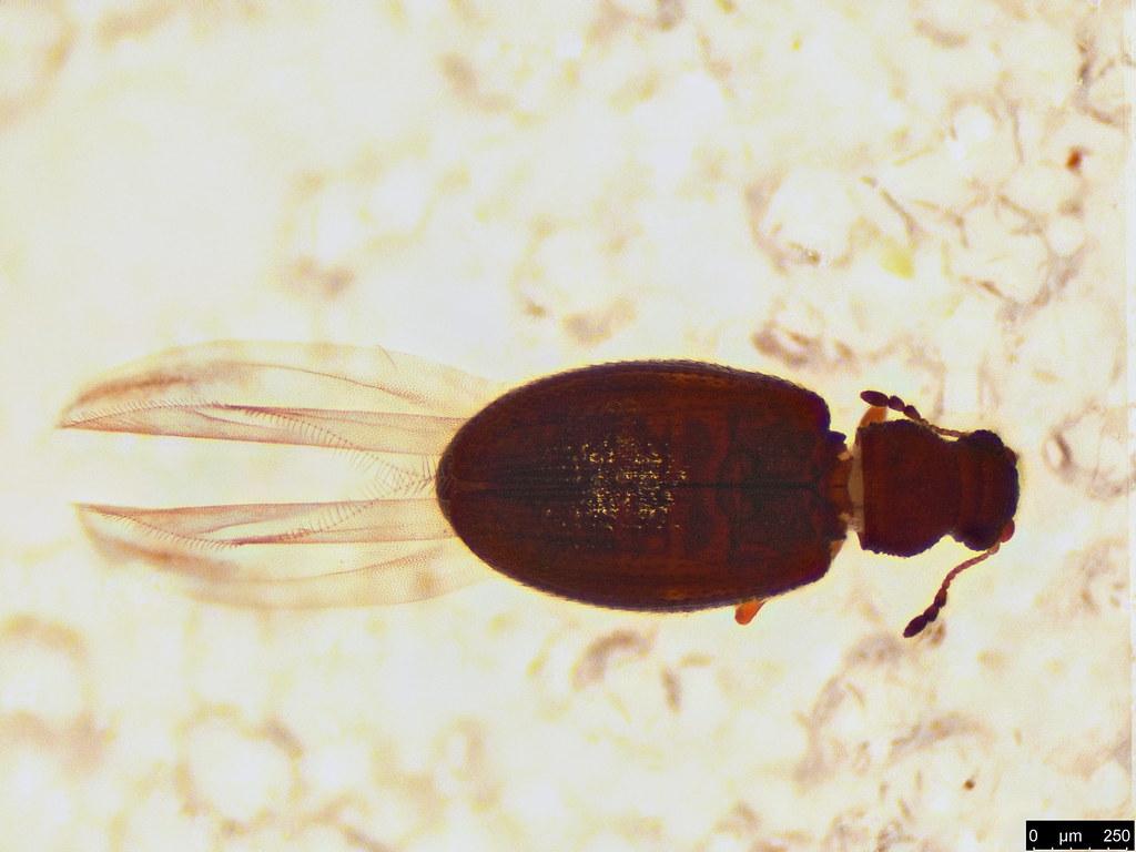 49a - Coleoptera sp.