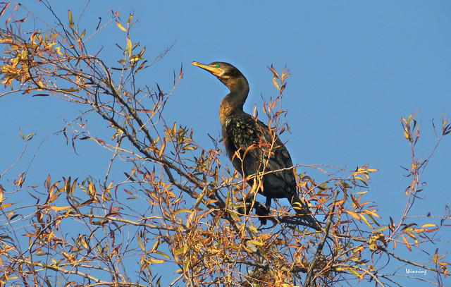 Double-crested Cormorant 8823