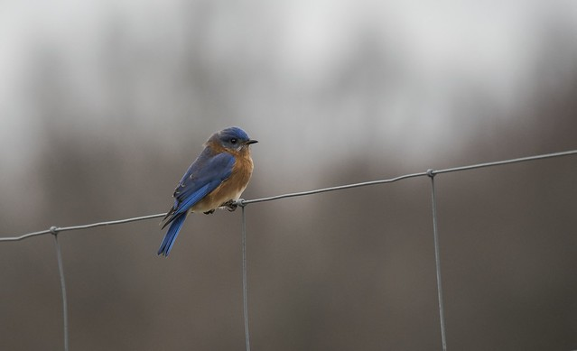 New Year's Day Eastern Bluebird