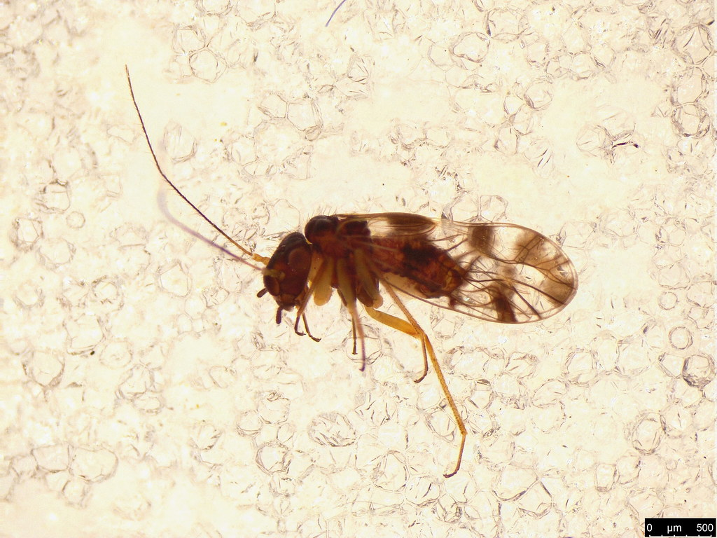 4 - Psocodea sp.