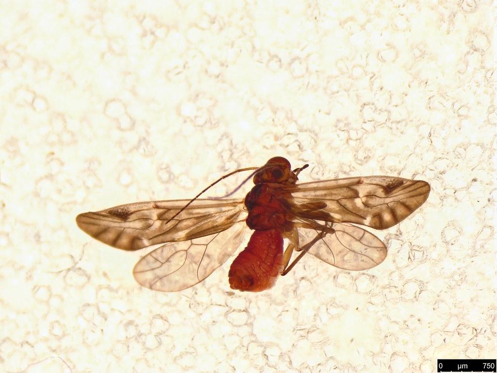 5 - Caeciliusidae sp.