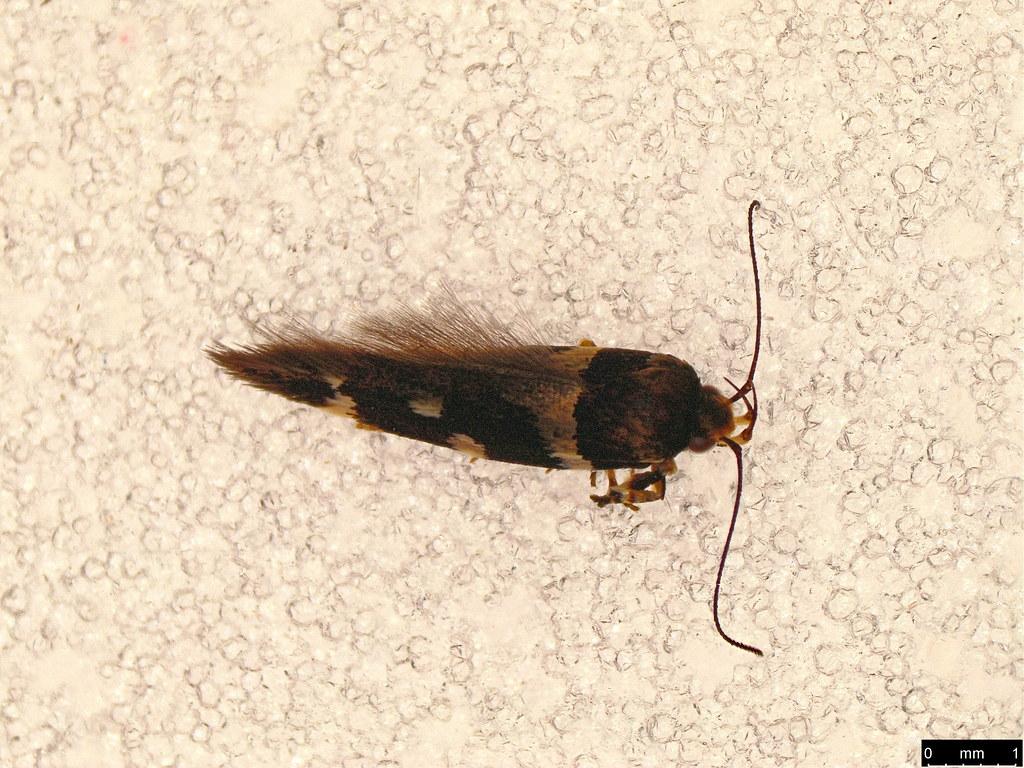 10b - Macrobathra sp.