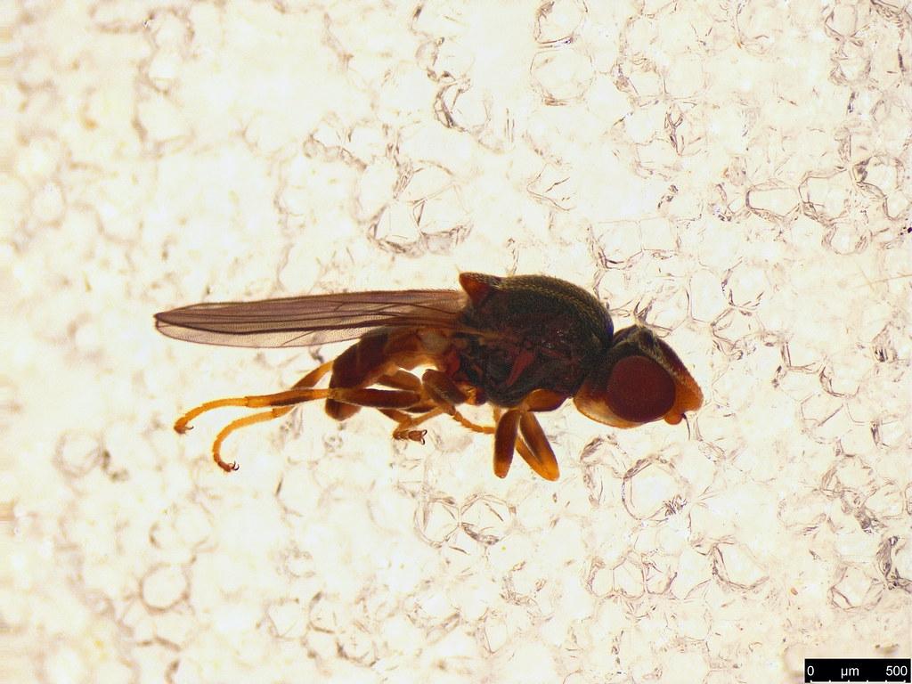16a - Tricimba sp.