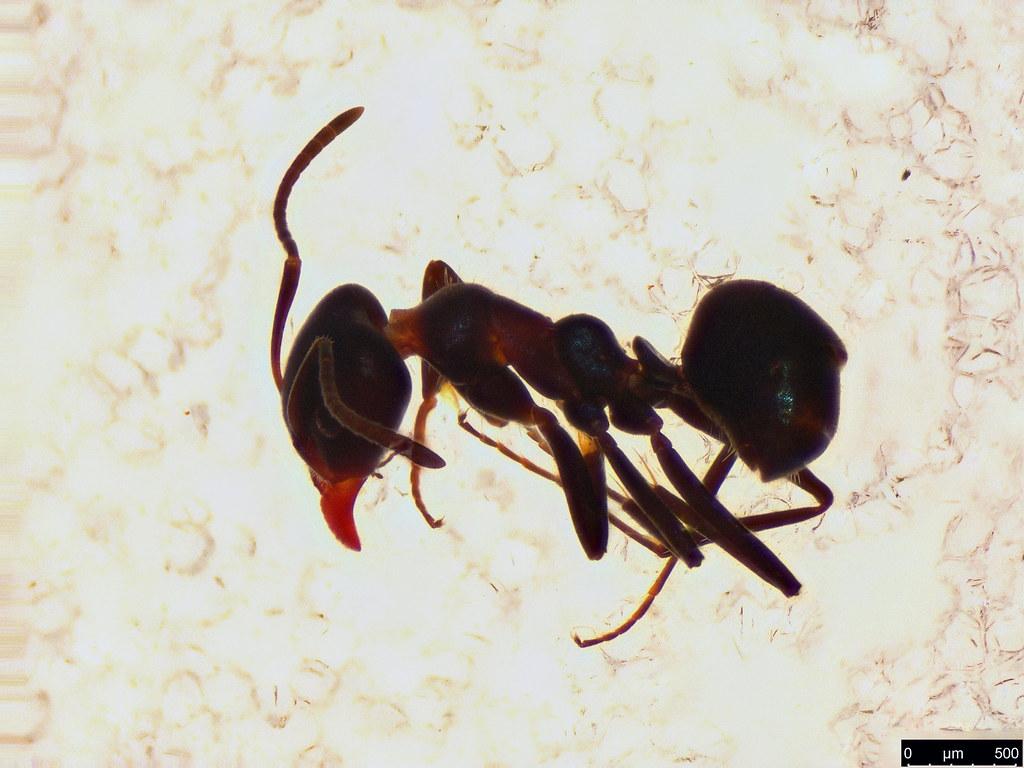 23a - Formicidae sp.
