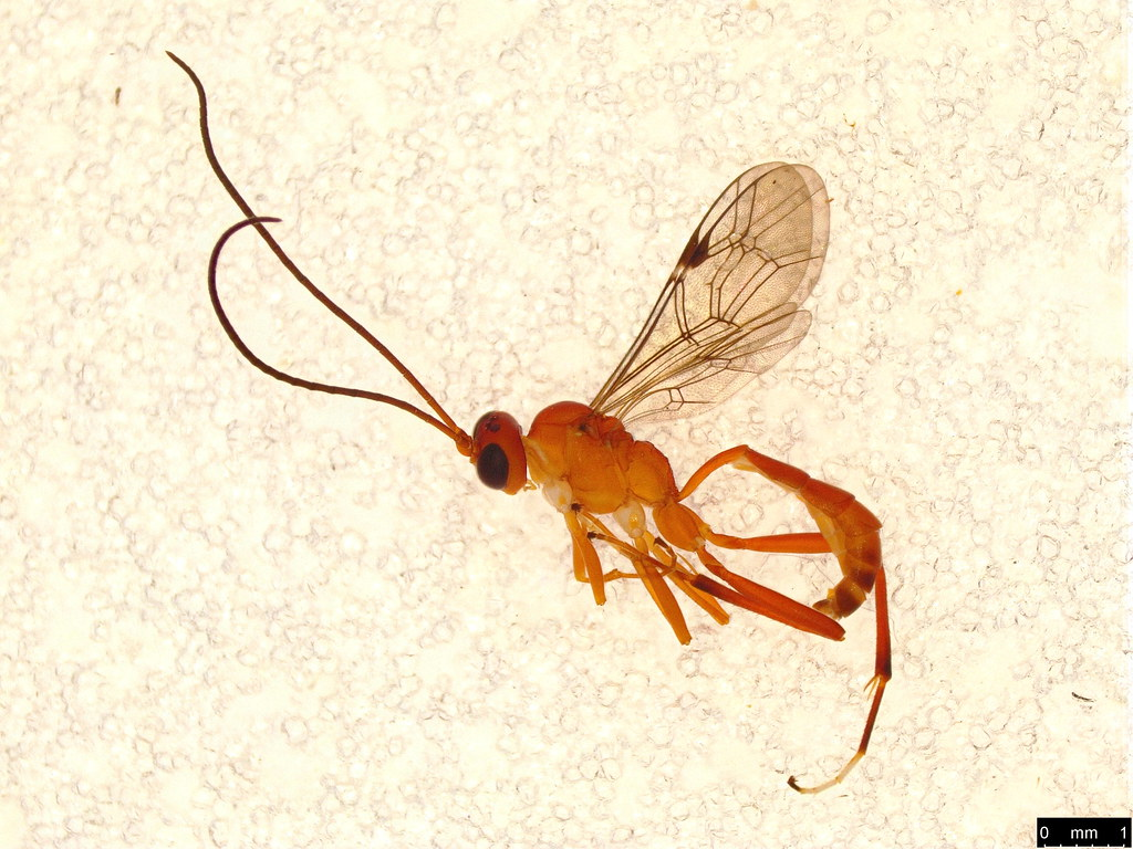 24 - Ichneumonidae sp.