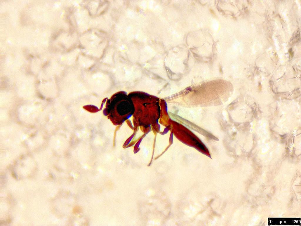38a - Hymenoptera sp.