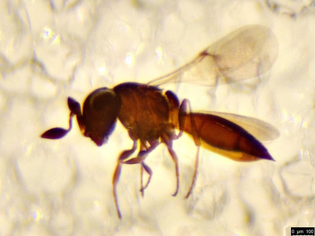 38b - Hymenoptera sp.