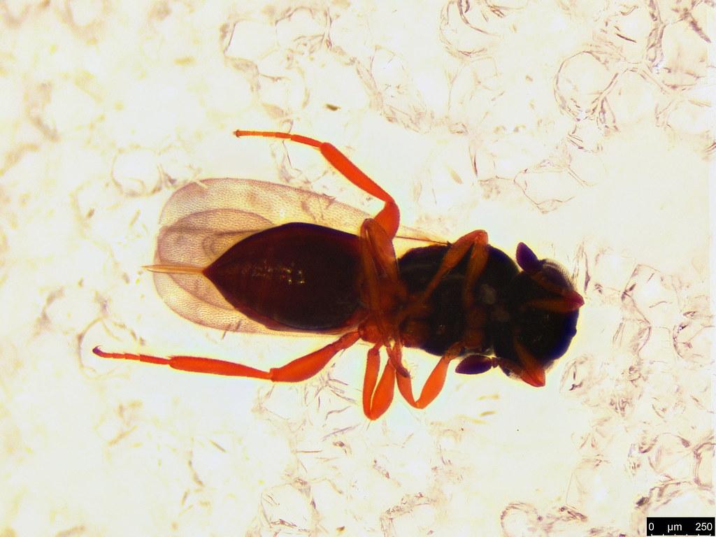 39b - Hymenoptera sp.