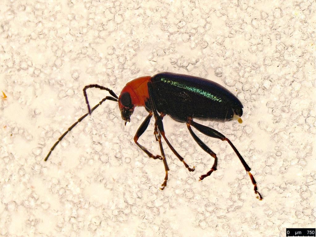 46a - Coleoptera sp.