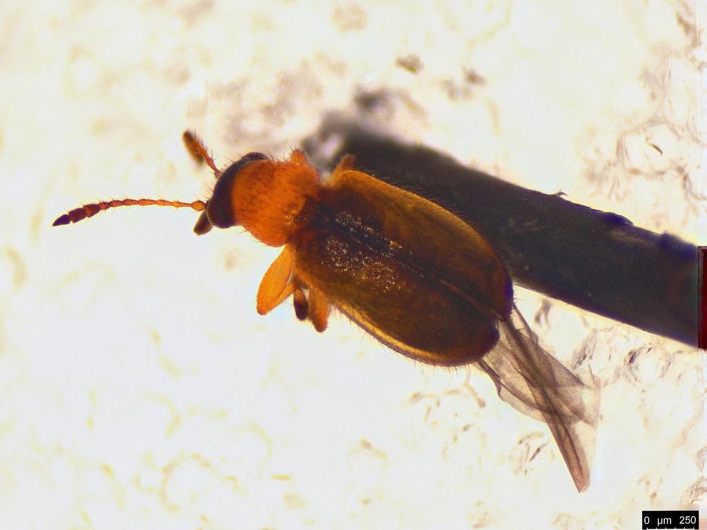 48b - Metopum sp.