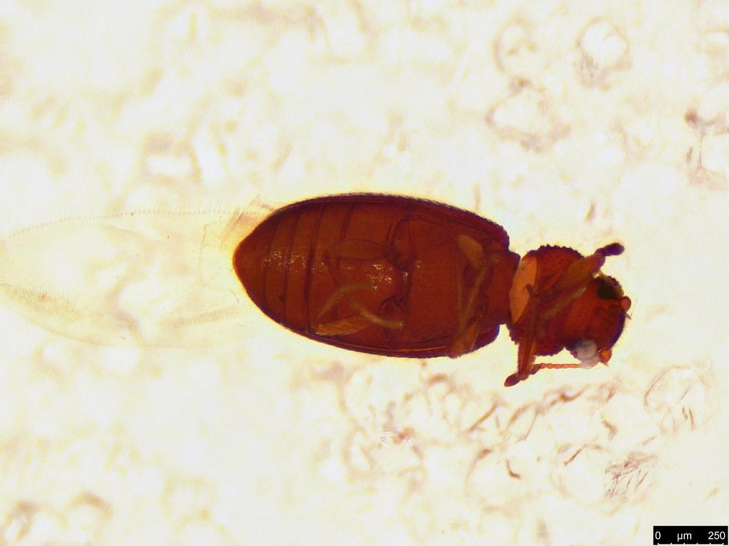 50b - Coleoptera sp.