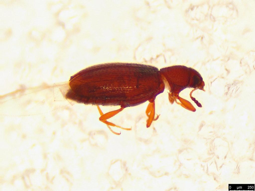50c - Coleoptera sp.