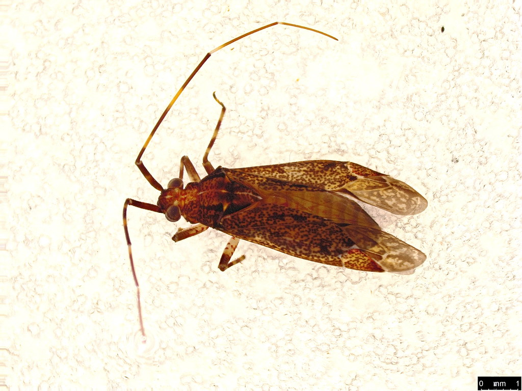 53a - Hemiptera sp.