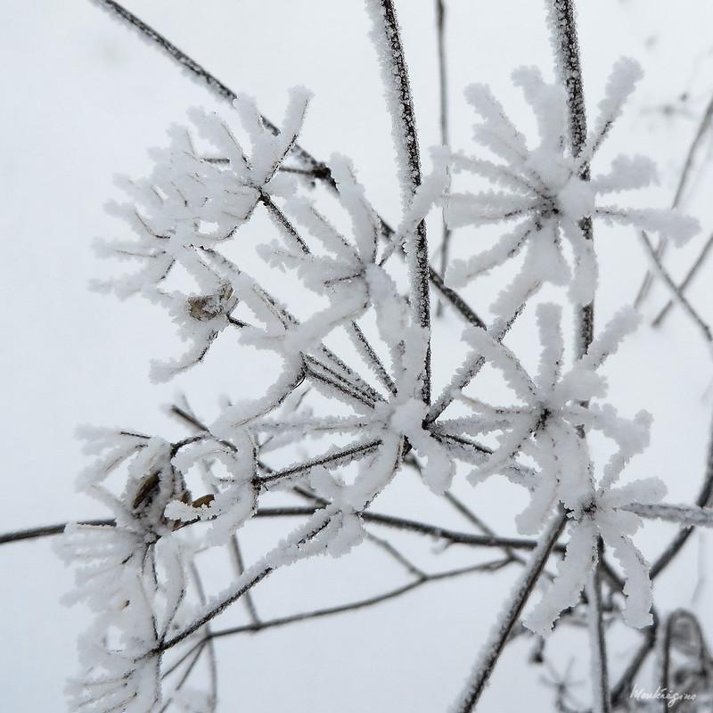Winter Flora - Flore d'hiver